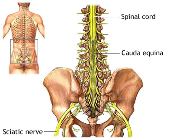 naturopathy treatment of sciatica - jagadguru kripalu yoga, Skeleton